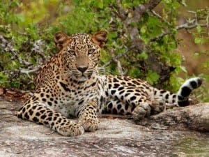 Young Leopard (Panthera pardus kotiya)