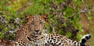 bioparc leopard e