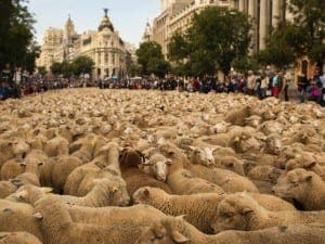 Sheep protest in Madrid