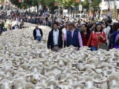 Sheep protest Madrid