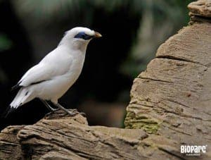 bioparc-bali-starling