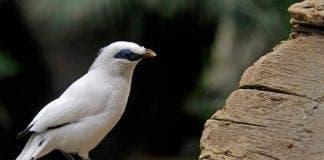 bioparc bali starling e