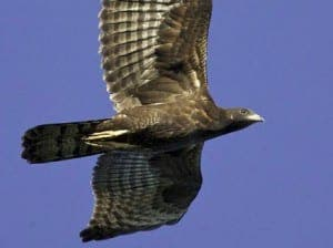 DUQUESA: Honey Buzzard