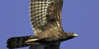 duquesa honeybuzzard e
