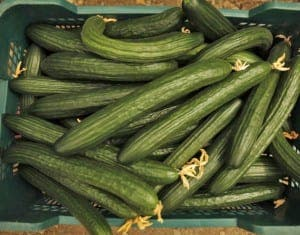A crate of collected cucumbers is seen at a greenhouse in Algarrobo -03QQ3105.jpg-