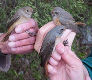 Gibraltar's Royal Naval Birdwatching Society ring redstarts