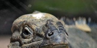 rhinoceros iguana bioparc fuengirola e