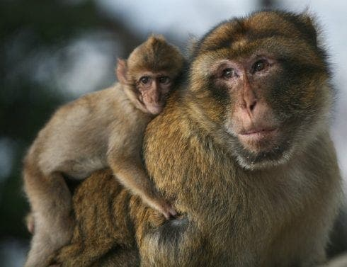 Cheeky monkey e