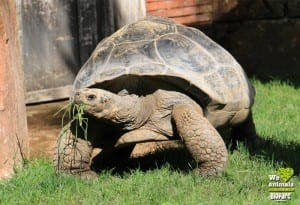 Giant tortoise at Fuengirola's Bioparc