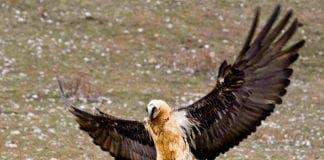 vulture e