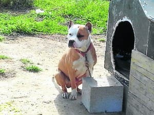 SAFE AT LAST: Pitbull