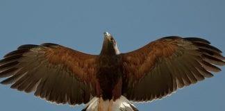 Eagle story  e