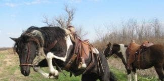 hobbled horse e