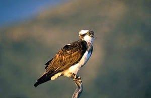 Osprey in Spain