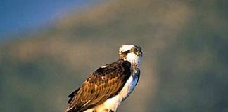 osprey spain