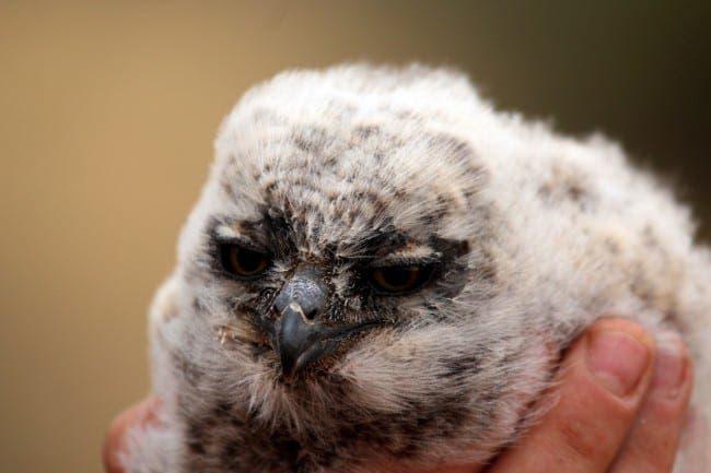 eagle owl e