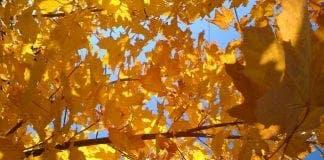 golden leaves e