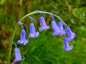 English-Bluebell