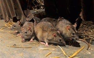 rats_2