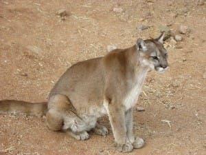 Cougar_sitting