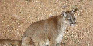 Cougar sitting e