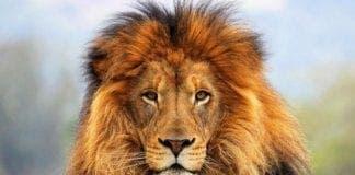 lion e