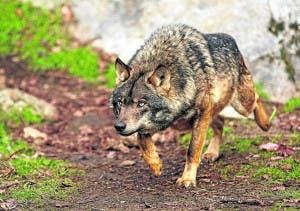 60_1iberian_wolf__c_