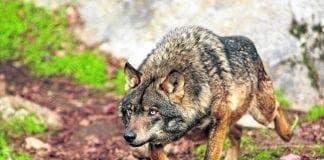 iberian wolf c e
