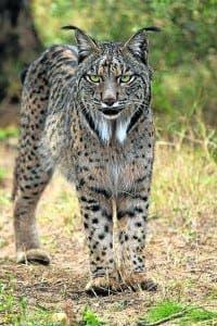 Iberian_Lynx