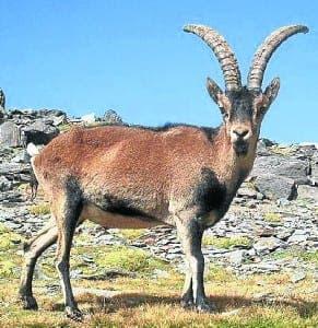 Spanish_ibex