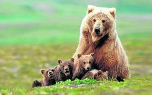 Grizzly bear sow with four cubs near Moraine Creek, Katmai Natio
