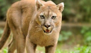 angry-cougar2