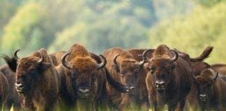 bison e