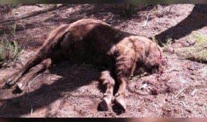 bison-headlesss
