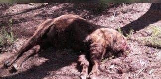 bison headlesss e