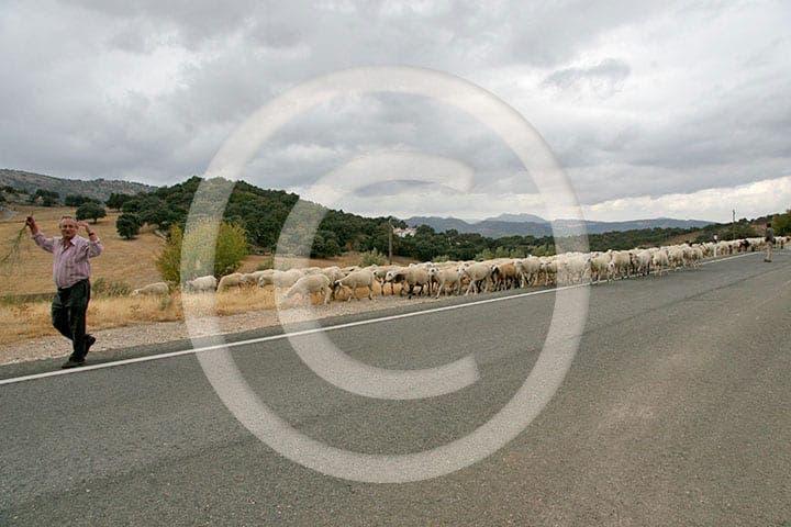 olive press spain sheep serrania de ronda
