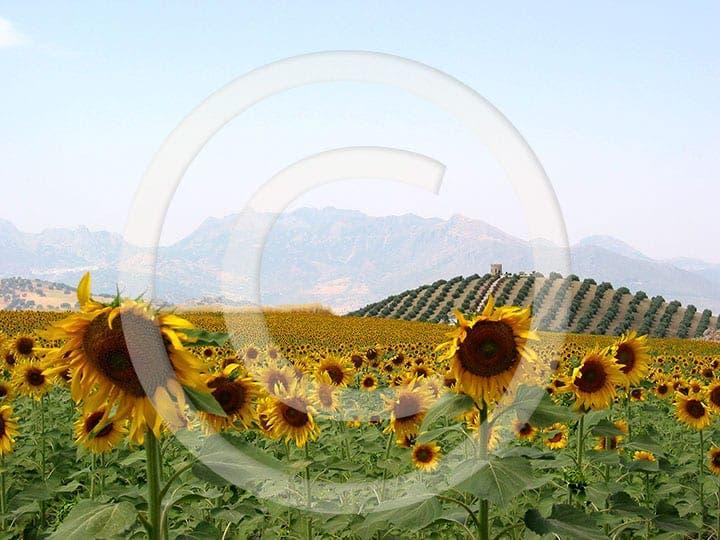 olive press spain sunflowers in ronda la vieja