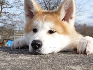 japanese-akita-inu-dog-breed