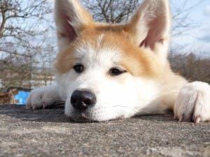 japanese-akita-inu-dog-breed