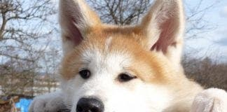 Japanese Akita Inu Dog Breed e
