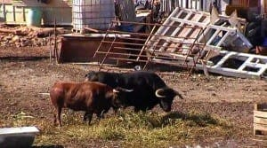 guard-bulls