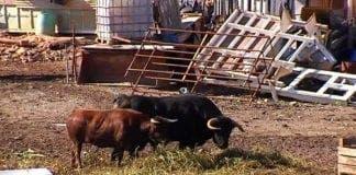 guard bulls