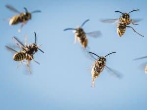 wasps-giles