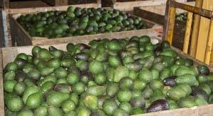 hass-avocado-1054729_640