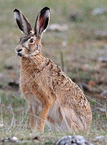 Broom hare