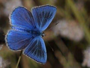 Sierra Nevada blue butterfly