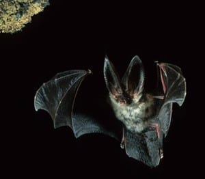 Canary big eared bat