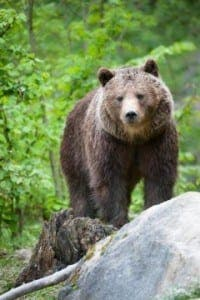 Cantabrian brown bear