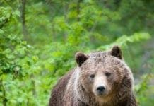 Animals extinction cantabrian brown bear