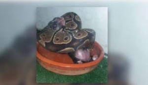 Python which was allegedly fed kittens and puppies